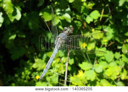 Detailed macro image of blue dragonfly on green plant