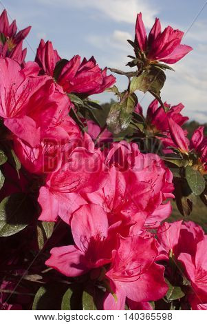 Bright pink flowers on an azalea bush with the sky behind
