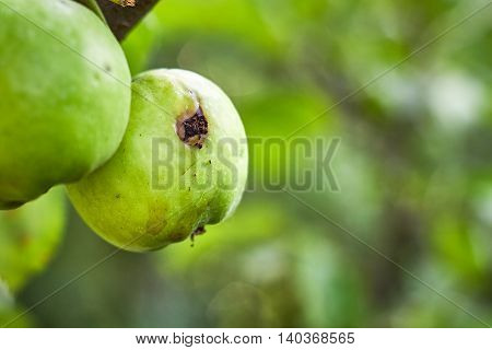 Green apple with worm hole hanging from tree. Copy space