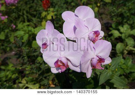 Orchidee phalaenopsis 'Mosella' pale violet five flowers.