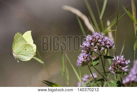 brimstone butterfly flying away from a purple flower