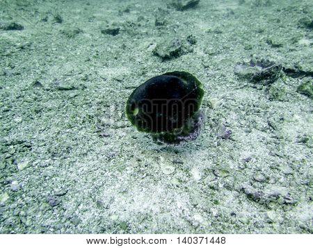 closed up the purple box jellyfish in Myanmar divesite