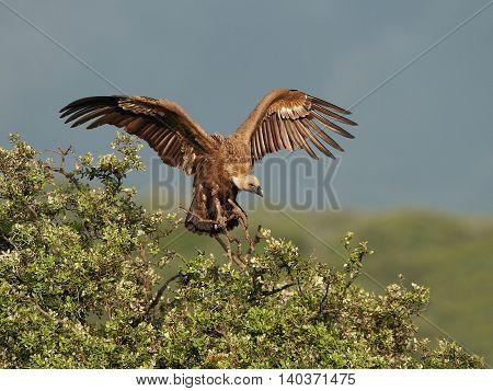 Griffon vulture (Gyps fulvus) landing in a tree in its habitat