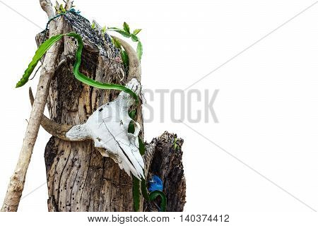 The remains of a buffalo skull on the stump dry isolated on white background.