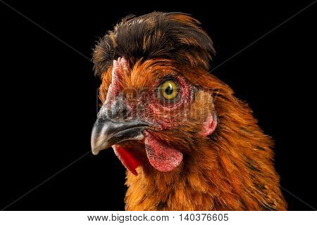 Closeup Ginger Chicken Curious Looks Isolated on Black Background in Profile view