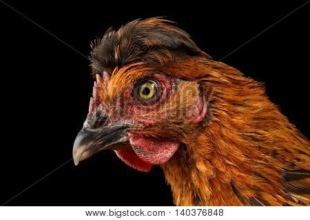 Closeup Ginger Chicken Head Curious Looks Isolated on Black Background in Profile view