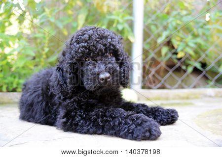 Black Poodle puppy . Close-up portrait outside
