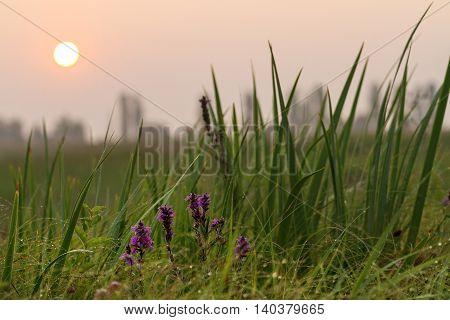Wild beautiful flowers at sunrise, swamp, field, desert mildew