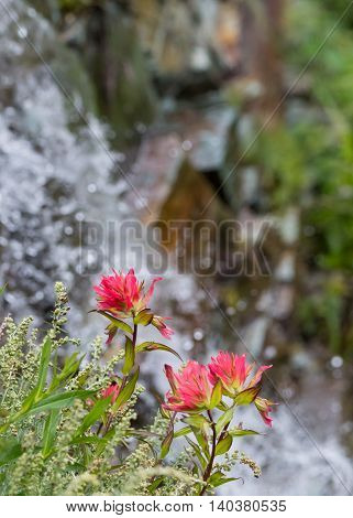 Indian Paintbrush Flowers Bloom on Cliff Side vertical