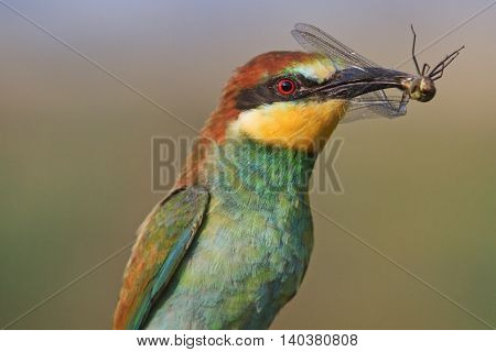 Rainbow bird of prey, color bird, bird of paradise, bright colors, european bee eater