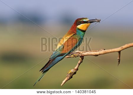 european bee eater a colored bird , wild bird, unusual plumage, summer