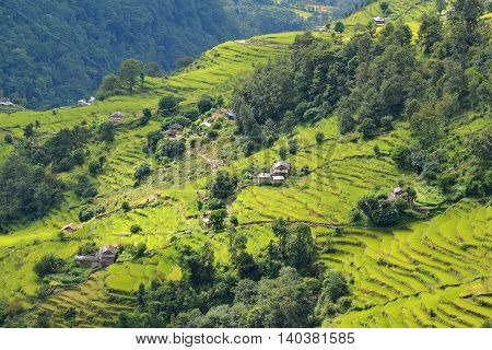 Terrace Rice Fields In Nepal