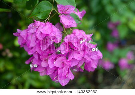 close up Bougainvillea flower in nature garden