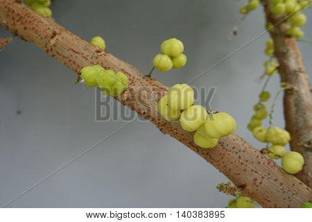 star gooseberry fruit on tree in the morning