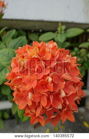 Orange Ixora flower with green leaf in bangkok
