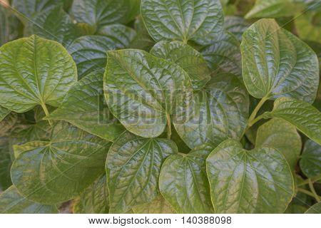 Material. Thai medicinal plants.(Piper sarmentosum Roxb.) green