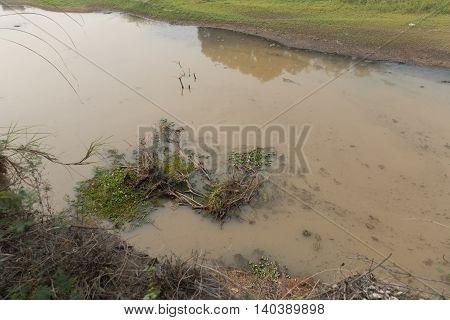 Eichhornia crassipes on the dry river thai