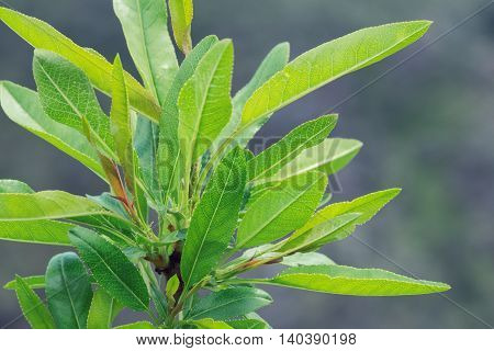 Bush Branch With Green Leaves With Grey Blurry Background Close Up Shot Photo