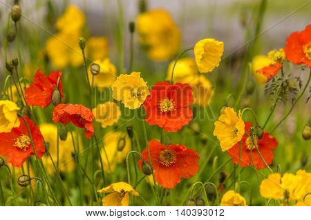 Red and yello poppie flowers after rain