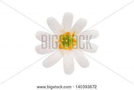 beautiful white flowers on a white background