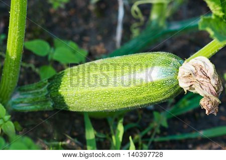 ovary zucchini in the garden on the farm closeup
