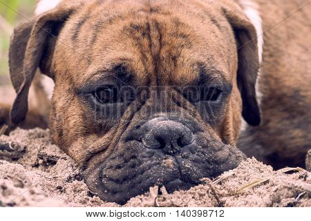 young dog with brown color stripes, breed german boxer lying on the sand on the beach, face dirty