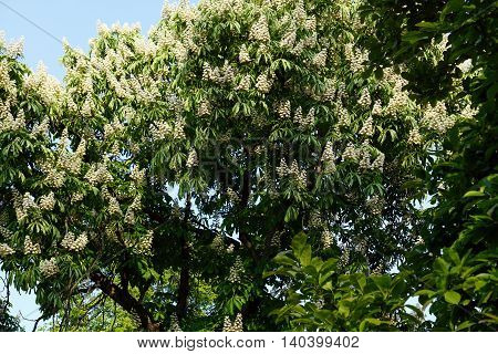 Flowers of a  horse chestnut, tree (Aesculus hippocastanum) bloom in Illinois during May.