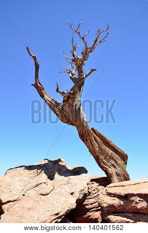 A dried twisted tree stretches its bare branches towards a bright blue sky in Colorado National Monument