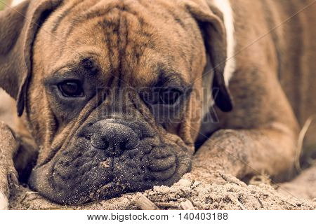 young dog with brown color stripes, breed german boxer lying on the sand on the beach, face dirty, waits and misses