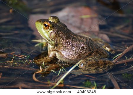 Toad sitting in shallow water of a marsh