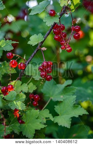 Bunches of ripe red currant hang on a branch in the garden. vertical
