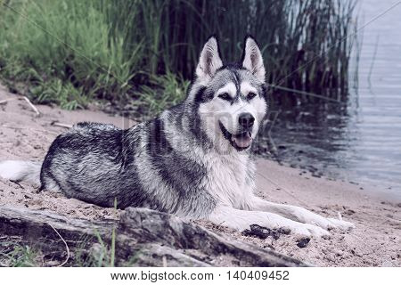 adult dog breed alaskan malamute, fluffy, wet and dirty lies on the beach on sand about the small lake, attentively looks aside,