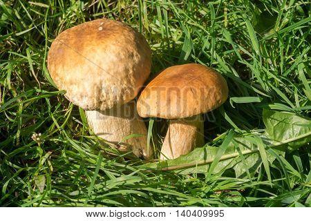 Porcini Mushrooms In Grass