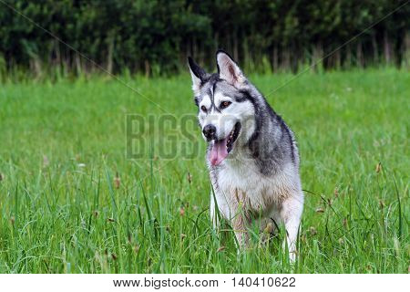 adult dog breed alaskan malamute, fluffy, wet and dirty talking outdoors on green grass,looks tense, hunting