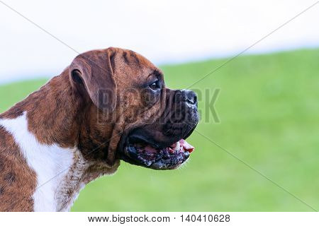young dog with brown color stripes, breed german boxer standing , wet muzzle  profile, portrait, summer,