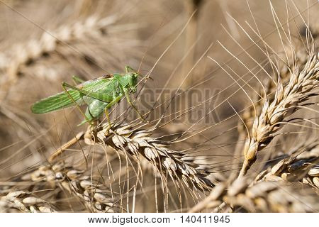 Locust on ripe wheat. Wheat field. Agricultural land with cereal crops.