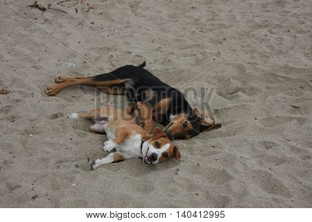 Two mongrel dogs enjoying on the beach sand