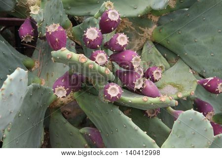 Close up of lilac cactus flowers on the Greek peninsula Halkidiki
