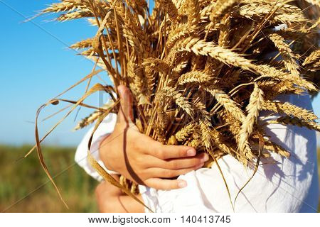 Picture close up of two hands holding golden wheat spikes on field. Rustic outdoor scene.