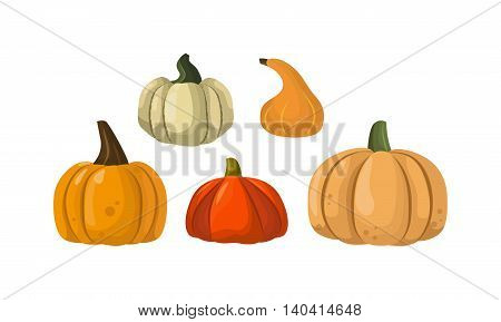 Autumn pumpkin vegetable design. Pumpkin oriental bittersweet vector illustration. Orange halloween pumpkin vegetable collection. Harvest symbol season decoration.
