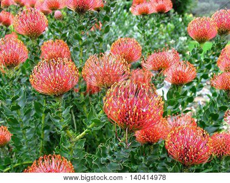 Proteas, Kirstenbosch Botanical Gardens, Cape Town South Africa 66