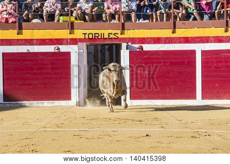 Sabiote Spain - August 23 2014: Capture of the figure of a brave bull in a bullfight going out of bullpens Sabiote Spain