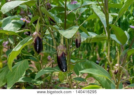 Eggplant With Flowers In The Garden