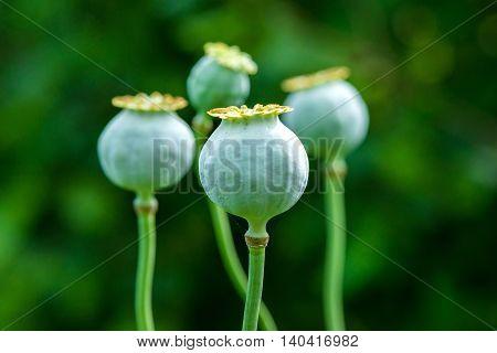 Poppy (Papaver somniferum) pods in garden - selective focus