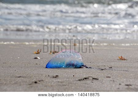 A beached Atlantic Portuguese Man o' War (Man of War)