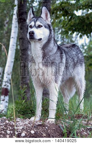 adult dog breed alaskan malamute, fluffy, wet, stand on small break outdoors on green grass and stones , looks tense, hunting, birch trees on a background