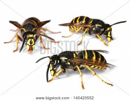 Three busy wasps isolated on white background drop shadow