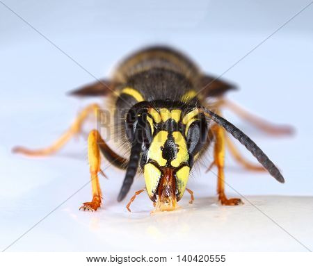 Wasp eating nectar front face portrait close-up