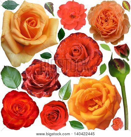 Big set of orange roses and leaves isolated on the white background