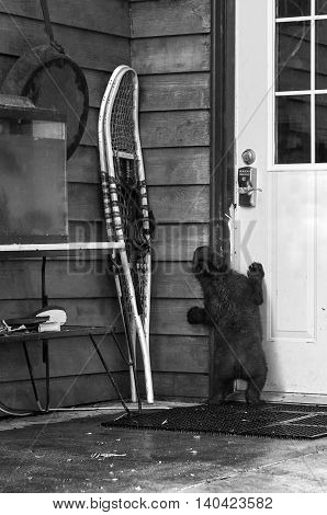 Black Bear Cub (Ursus americanus) Attempts to Get Into Building - captive animal